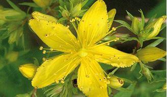 Imagen de Hipérico, planta de la luz del Solsticio de Verano