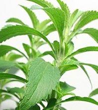 Imagen de Aprende a cultivar Stevia, la planta que puede curar la diabetes